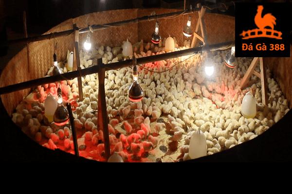 kỹ thuật úm gà con