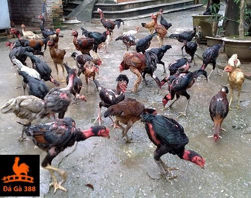 mô hình nuôi gà chọi