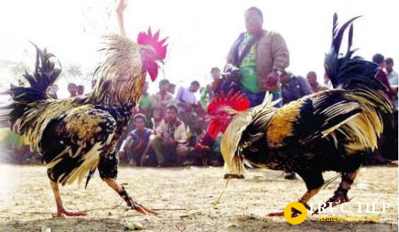 Cách chăm sóc gà chọi