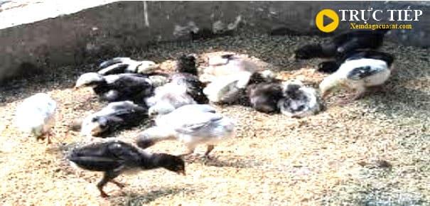 cách nuôi gà con mới nở